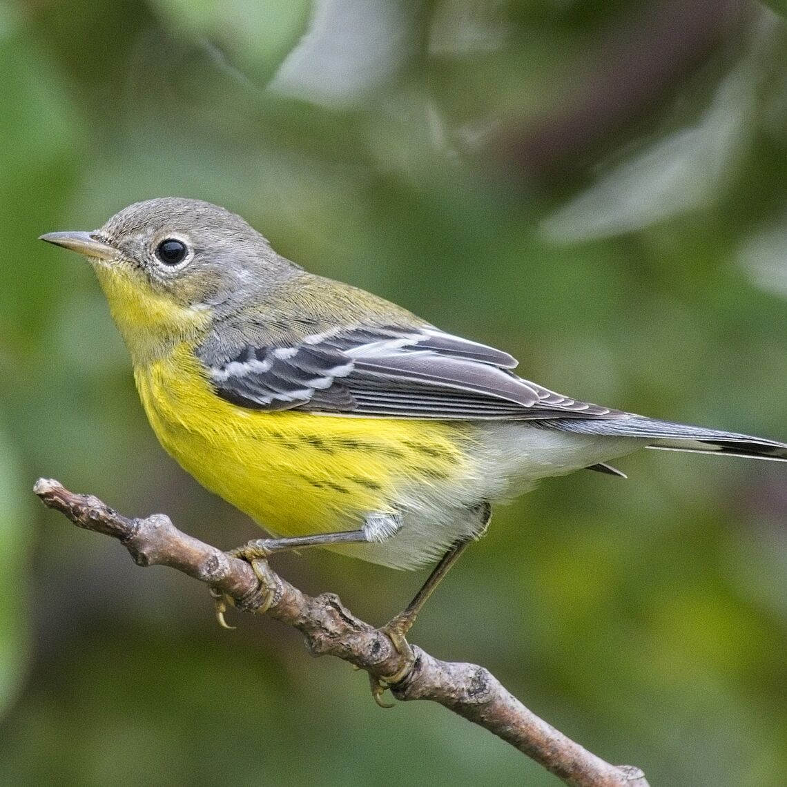 Magnolia Warbler at Dodsworth Run Preserve